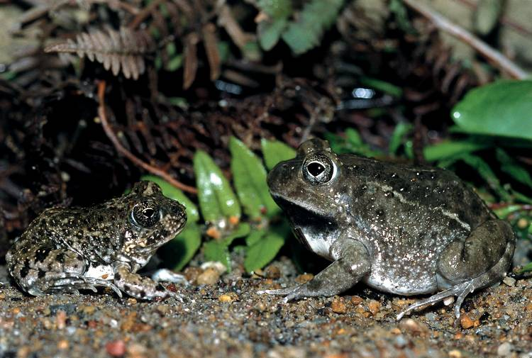 df40889bd12c8 World Frog Day: Meet the Western leopard toad's friends