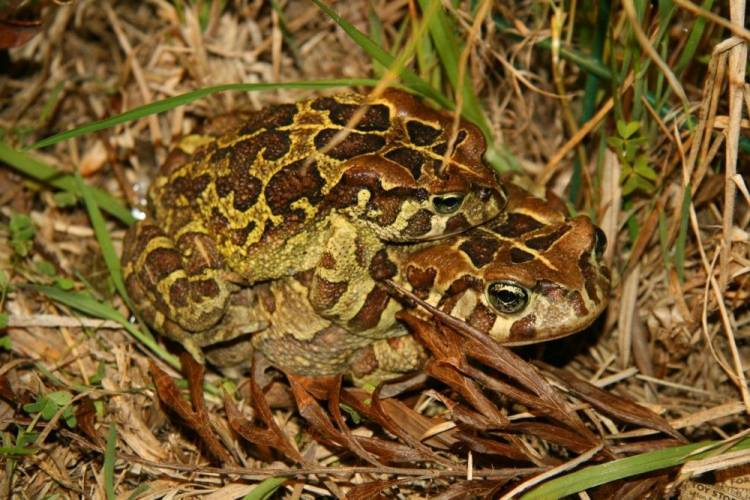 western leopard toad migration