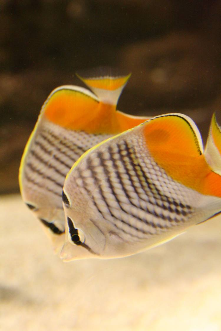 Colours Of The Rainbow Eight Beautiful Butterflyfish At The