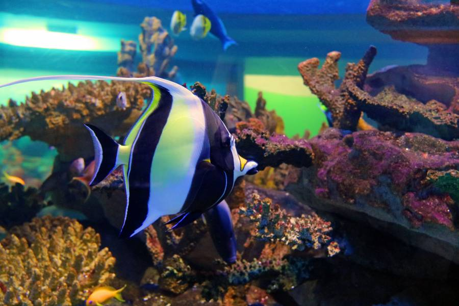 Moorish Idol Species Two Oceans Aquarium Cape Town South