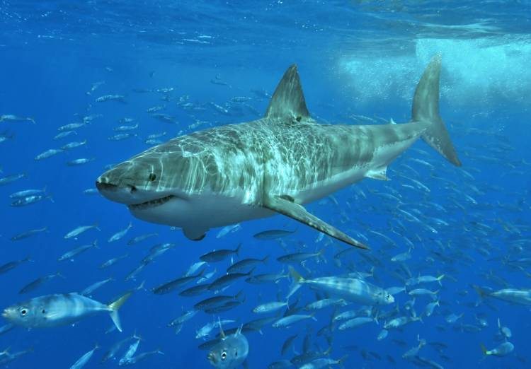 Megalodon: The Real Facts About The Largest Shark