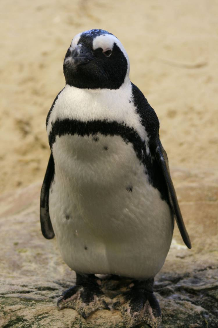 penguin waddle, two oceans aquarium, african penguin