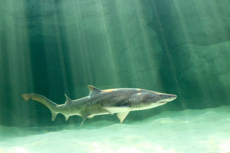 the first sharks are back blog two oceans aquarium cape town the first three of our nine new ragged tooth sharks were moved into the recently revamped and refilled predator exhibit this morning 27 2017
