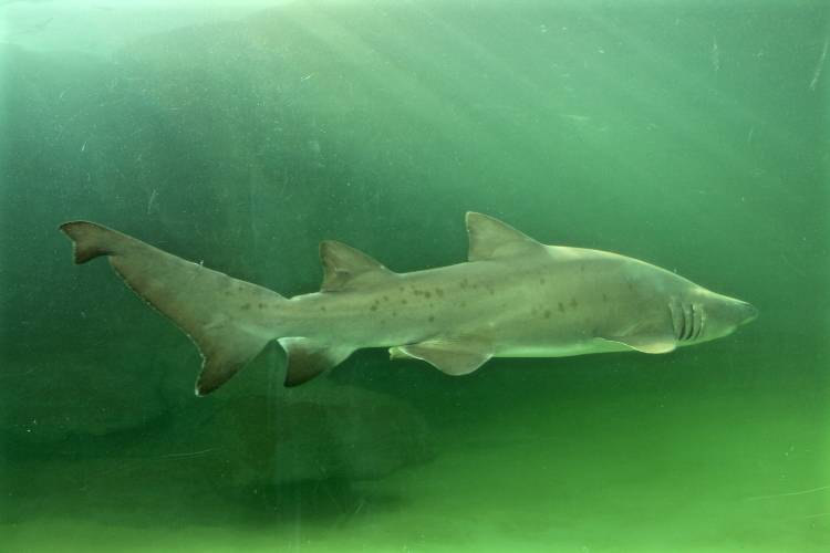 See The Return Of Our Fascinating Ragged Tooth Sharks