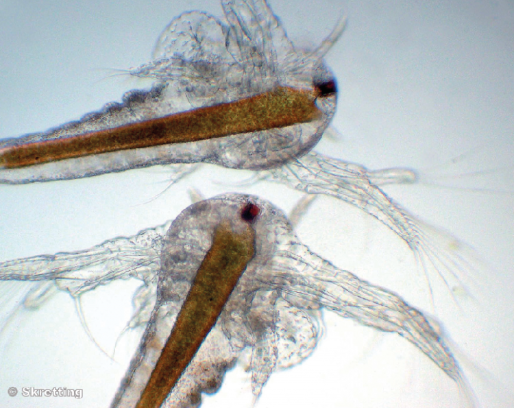 Apologise, but, Brine shrimp adults