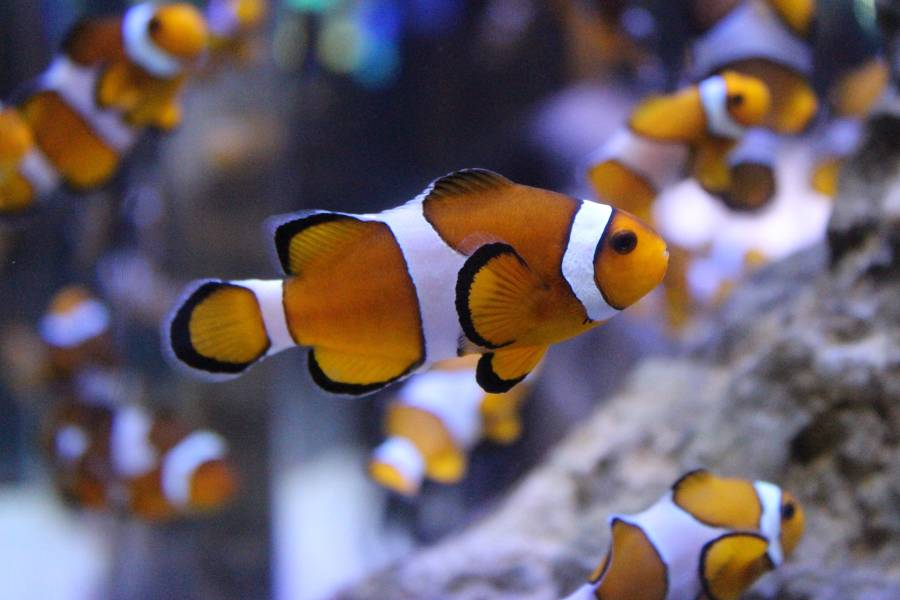 Western clownfish anemonefish species two oceans for What do clown fish eat