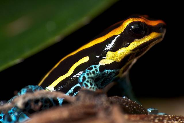 Seriously Wild Poison Dart Frog Blog Two Oceans