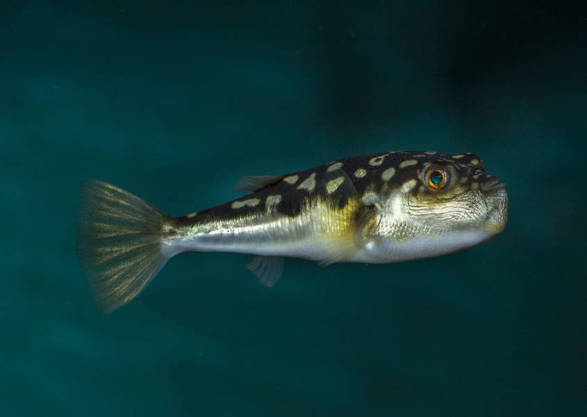 we have over 200 fish including the evileye pufferfish