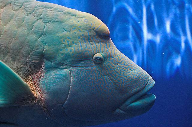 fukushima aquarium humphead wrasse japan tsunami