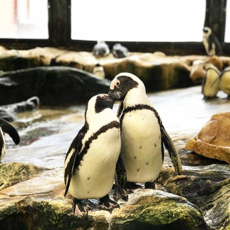 Two African black-footed penguins showing each other some love and affection at the Two Oceans Aquarium.