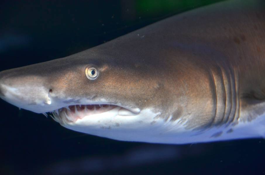 Read More About The Ragged-Tooth SharksAt The Aquarium