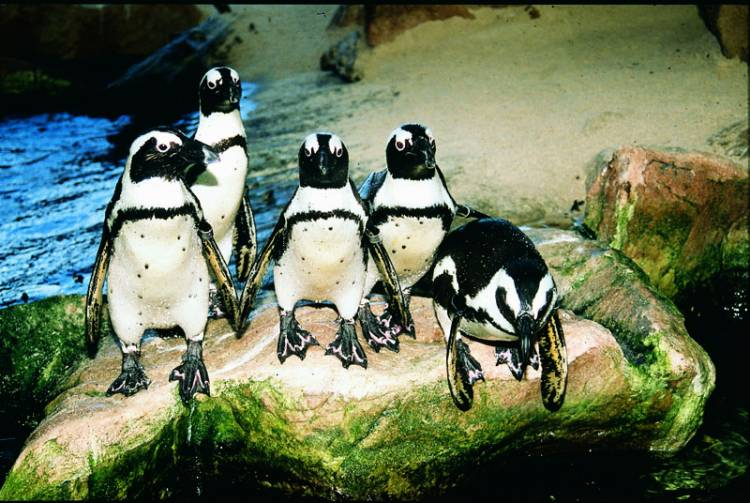 penguins two oceans aquarium