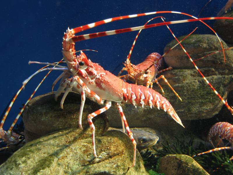 South Coast rock lobster – Species – Two Oceans Aquarium Cape Town ...