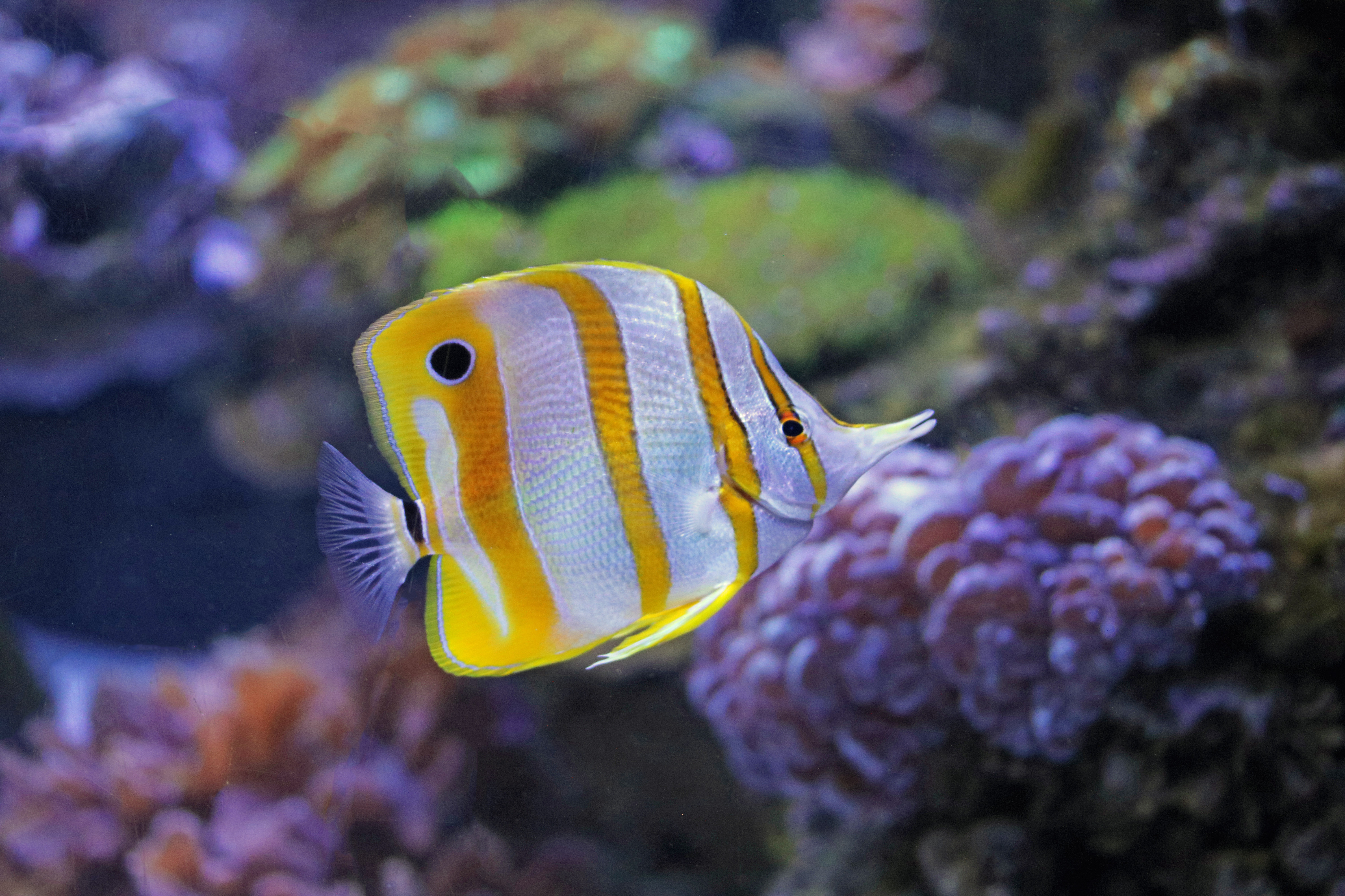 Copperband butterflyfish species two oceans aquarium for African butterfly fish