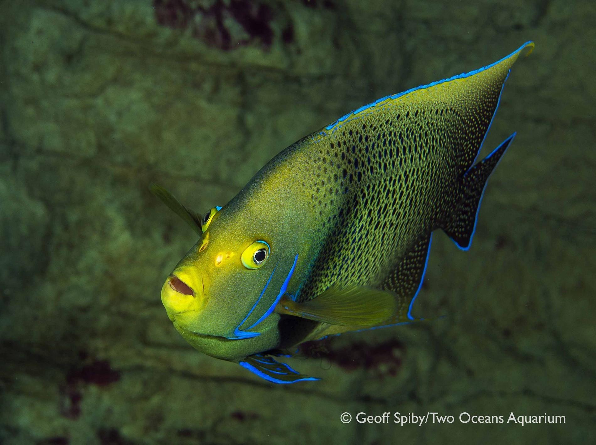 Semicircle angelfish - Species - Two Oceans Aquarium Cape ...