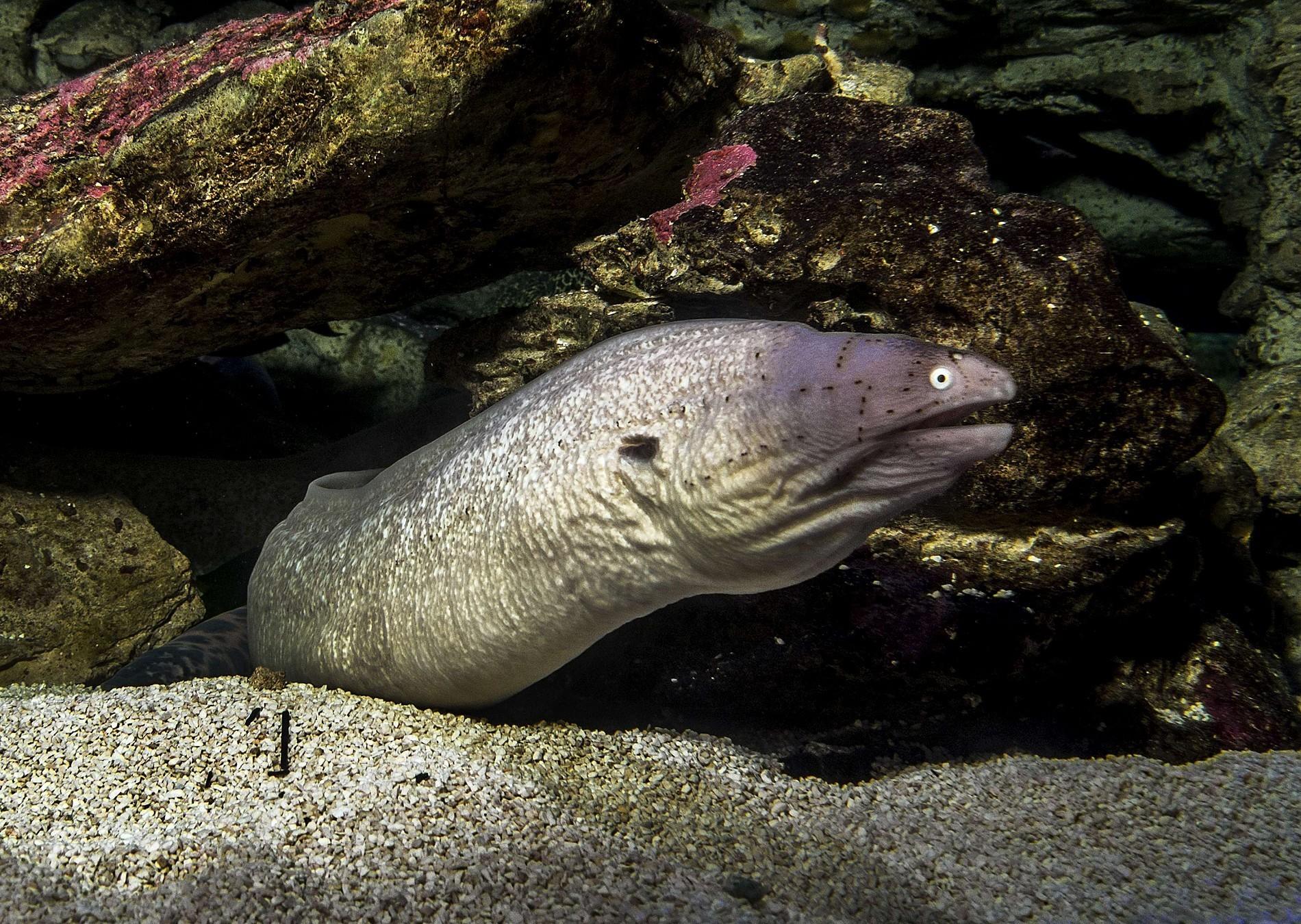 Geometric Moray Eel Species Two Oceans Aquarium Cape