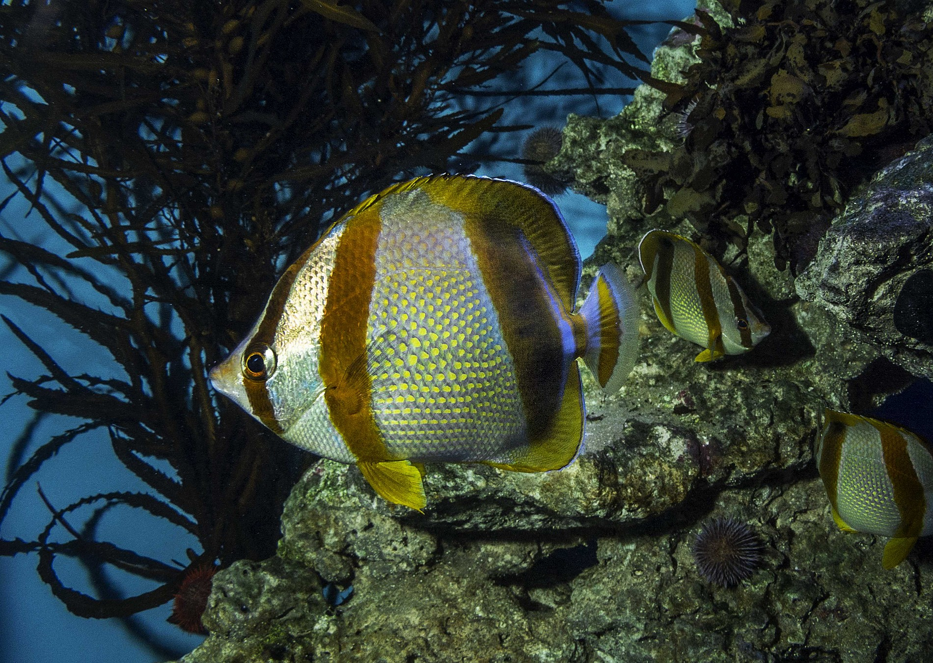 South African Butterflyfish Species Two Oceans