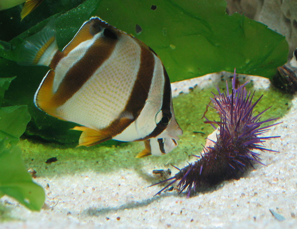 South african butterflyfish species two oceans for African butterfly fish
