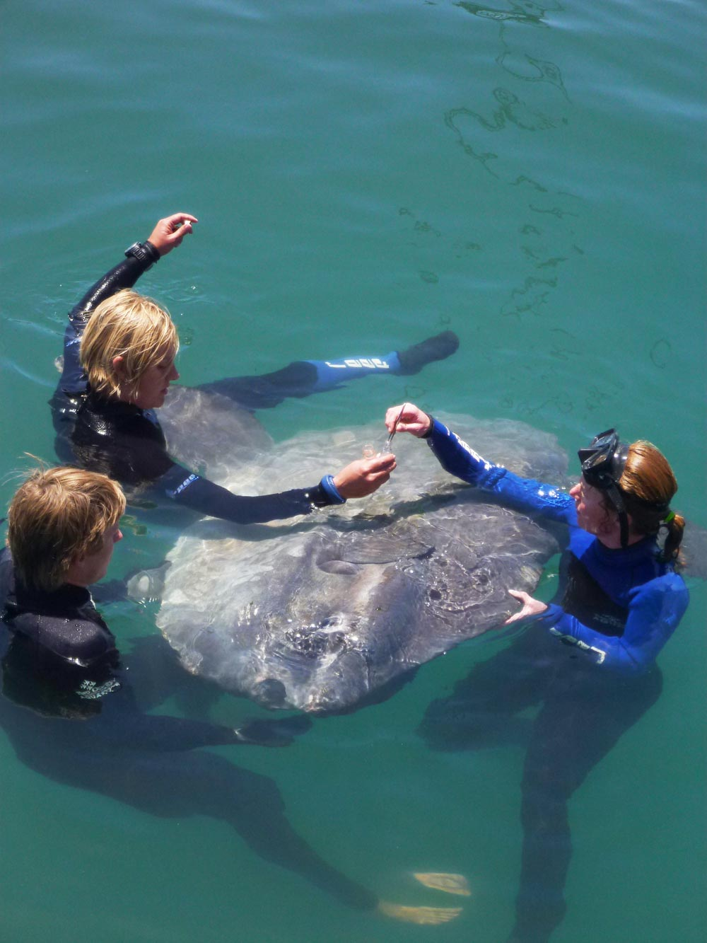 Ocean sunfish (Mola mola) in Sturrock Dry Dock – Blog – Two Oceans Aquarium Cape Town, South ...
